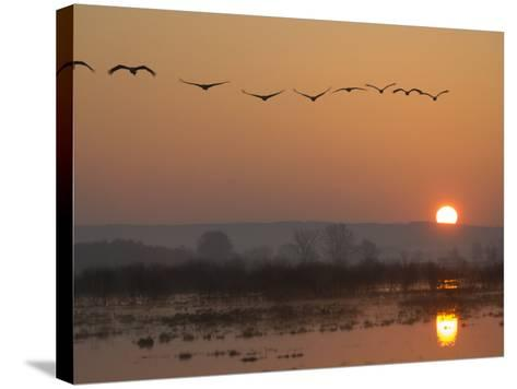 Common Cranes Flying in Formation at Sunrise, Hornborgasjon Lake, Sweden-Inaki Relanzon-Stretched Canvas Print