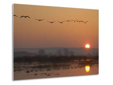 Common Cranes Flying in Formation at Sunrise, Hornborgasjon Lake, Sweden-Inaki Relanzon-Metal Print