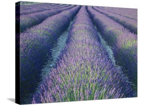 Fields of Lavander Flowers Ready for Harvest, Sault, Provence, France, June 2004-Inaki Relanzon-Stretched Canvas Print