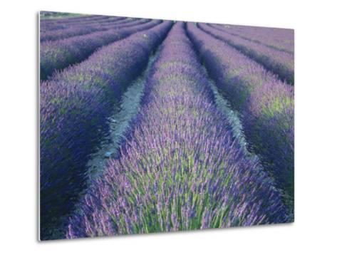 Fields of Lavander Flowers Ready for Harvest, Sault, Provence, France, June 2004-Inaki Relanzon-Metal Print