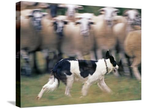 Sheepdog Rounding Up Domestic Sheep Bergueda, Spain, August 2004-Inaki Relanzon-Stretched Canvas Print
