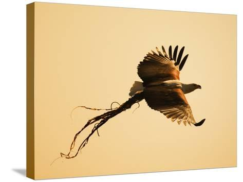 African Fish Eagle Carrying Nesting Material, Chobe National Park, Botswana May 2008-Tony Heald-Stretched Canvas Print