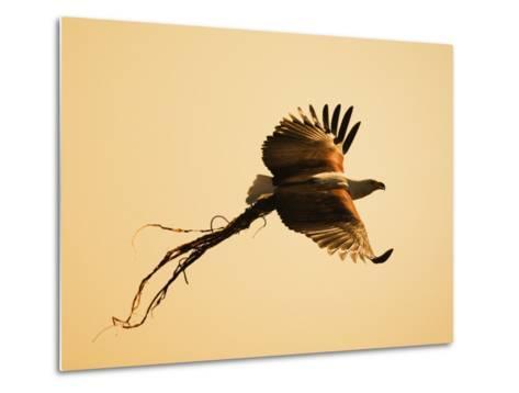 African Fish Eagle Carrying Nesting Material, Chobe National Park, Botswana May 2008-Tony Heald-Metal Print