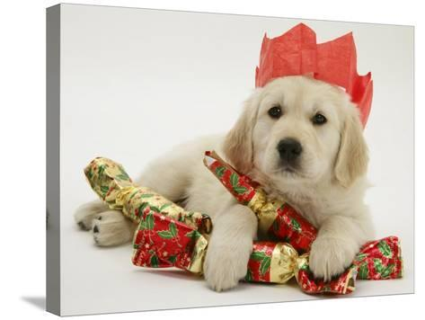 Golden Retriever Puppy with Christmas Crackers Wearing Paper Hat-Jane Burton-Stretched Canvas Print