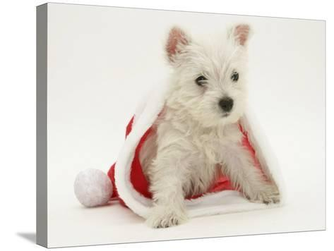 West Highland White Terrier Puppy in a Father Christmas Hat-Jane Burton-Stretched Canvas Print