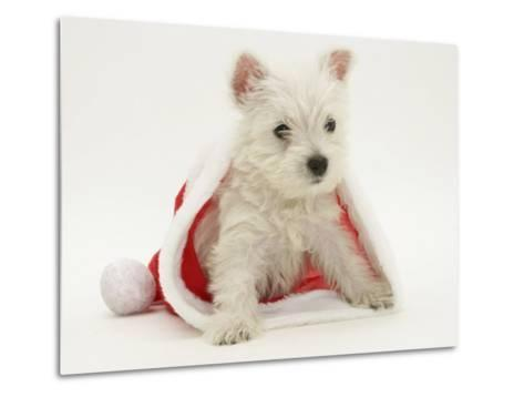 West Highland White Terrier Puppy in a Father Christmas Hat-Jane Burton-Metal Print