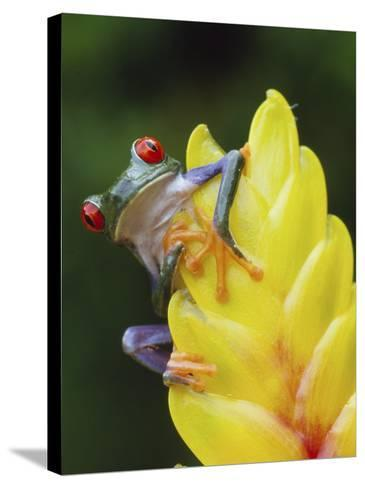 Red Eyed Tree Frog on Heliconia Flower, Costa Rica-Edwin Giesbers-Stretched Canvas Print