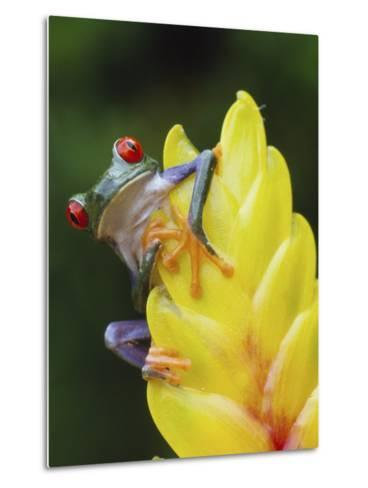 Red Eyed Tree Frog on Heliconia Flower, Costa Rica-Edwin Giesbers-Metal Print