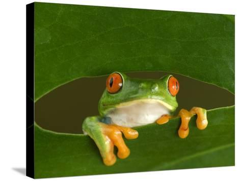 Red-Eyed Tree Frog Looking Through Hole in a Leaf, Costa Rica-Edwin Giesbers-Stretched Canvas Print