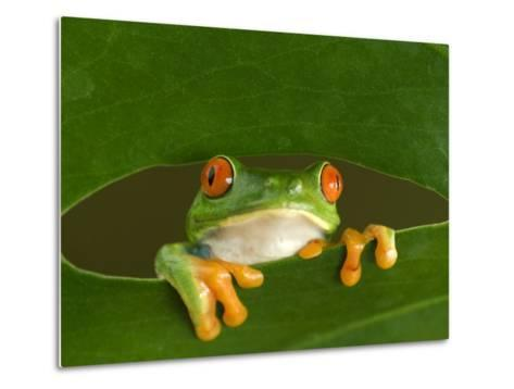Red-Eyed Tree Frog Looking Through Hole in a Leaf, Costa Rica-Edwin Giesbers-Metal Print