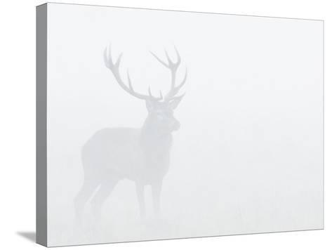 Red Deer Stag in Thick Fog, Dyrehaven, Denmark-Edwin Giesbers-Stretched Canvas Print