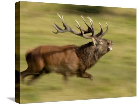 Red Deer Stag Running During Rut, Dyrehaven, Denmark-Edwin Giesbers-Stretched Canvas Print