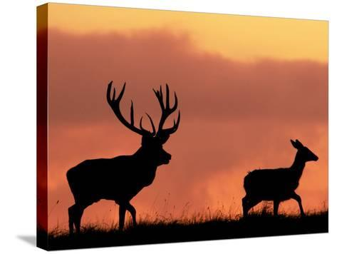Silhouette of Red Deer Stag and Doe at Sunset, Dyrehaven, Denmark-Edwin Giesbers-Stretched Canvas Print