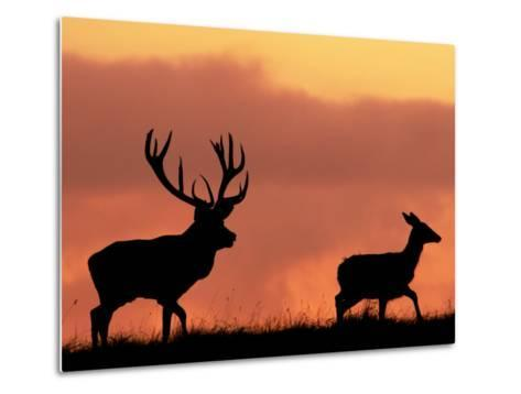 Silhouette of Red Deer Stag and Doe at Sunset, Dyrehaven, Denmark-Edwin Giesbers-Metal Print