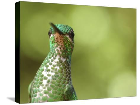 Green Crowned Brilliant Hummingbird, Costa Rica-Edwin Giesbers-Stretched Canvas Print