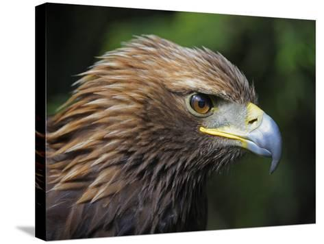 Head Portrait of Golden Eagle, France-Eric Baccega-Stretched Canvas Print