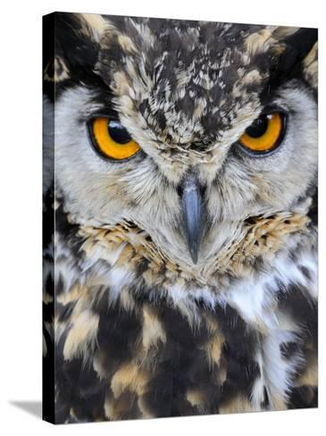 Spotted Eagle-Owl Captive, France-Eric Baccega-Stretched Canvas Print
