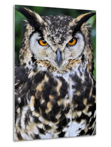 Head Portrait of Spotted Eagle-Owl Captive, France-Eric Baccega-Metal Print