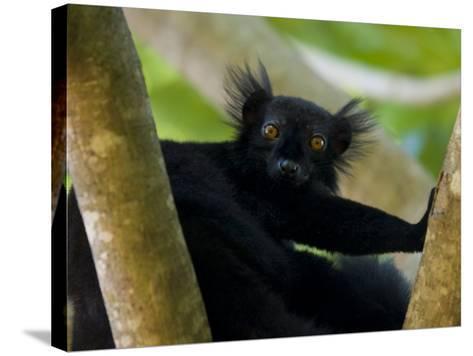 Black Lemur Male, Nosy Komba, North Madagascar, Iucn Vulnerable-Inaki Relanzon-Stretched Canvas Print