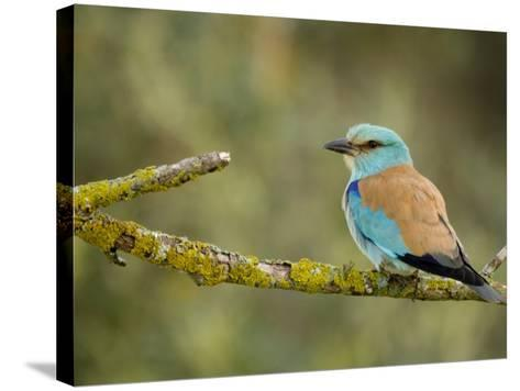 Common Roller Perched, South Spain-Inaki Relanzon-Stretched Canvas Print