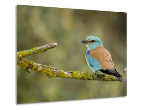 Common Roller Perched, South Spain-Inaki Relanzon-Metal Print