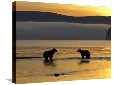 Brown Bears in Water at Sunrise, Kronotsky Nature Reserve, Kamchatka, Far East Russia-Igor Shpilenok-Stretched Canvas Print