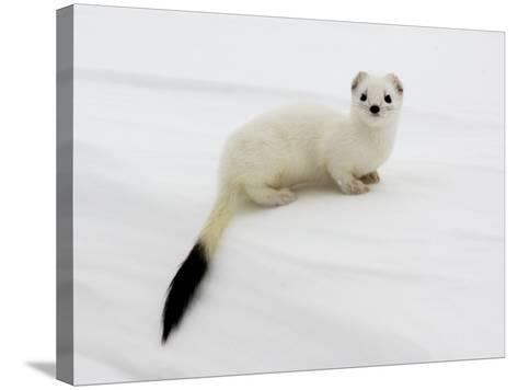 Stoat in White Winter Coat, Kronotsky Zapovednik, Kamchatka, Far East Russia, April-Igor Shpilenok-Stretched Canvas Print