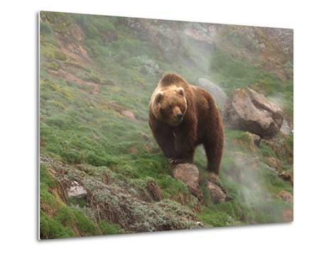 Brown Bear on Grassy Slope, Valley of the Geysers, Kronotsky Zapovednik, Kamchatka, Far East Russia-Igor Shpilenok-Metal Print