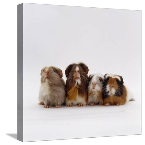 Female Crested Guinea Pig with Three Six-Week Babies, UK-Jane Burton-Stretched Canvas Print