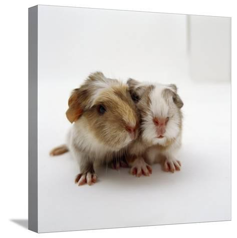 Two Baby Crested Guinea Pigs, One-Day-Jane Burton-Stretched Canvas Print