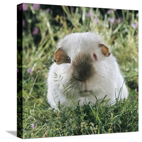 Himalayan Guinea Pig, Male-Jane Burton-Stretched Canvas Print