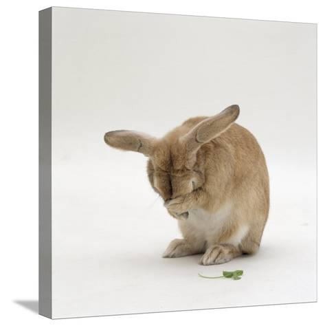 Female Sandy Lop-Eared Rabbit Grooming, Washing Her Face-Jane Burton-Stretched Canvas Print