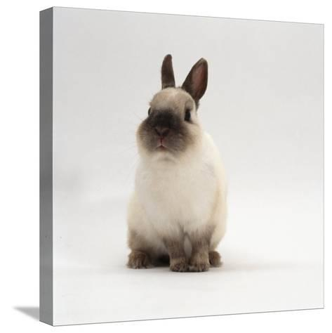 Seal-Point Netherland Dwarf Male Rabbit-Jane Burton-Stretched Canvas Print