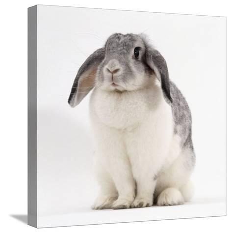 Female Silver and White French Lop-Eared Rabbit-Jane Burton-Stretched Canvas Print
