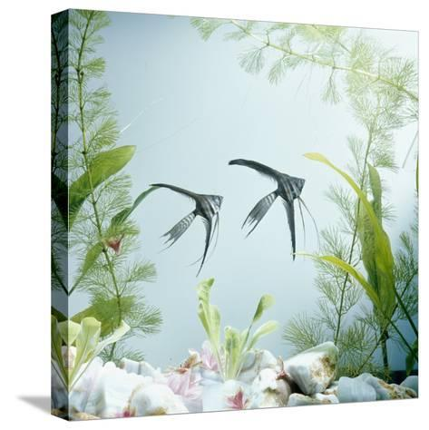 Angelfish Melanic Veiltail 'Black Lace' Variety, from Rivers of Amazon Basin, South America-Jane Burton-Stretched Canvas Print