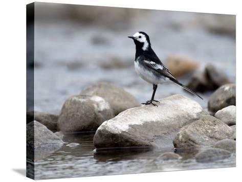 Pied Wagtail Male Perched on Rock in Stream, Upper Teesdale, Co Durham, England, UK-Andy Sands-Stretched Canvas Print