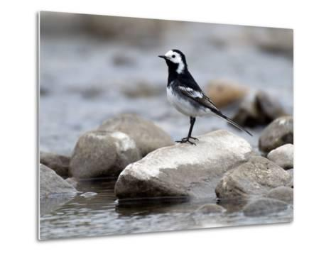 Pied Wagtail Male Perched on Rock in Stream, Upper Teesdale, Co Durham, England, UK-Andy Sands-Metal Print