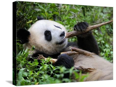 Giant Panda Feeding on Bamboo at Bifengxia Giant Panda Breeding and Conservation Center, China-Eric Baccega-Stretched Canvas Print