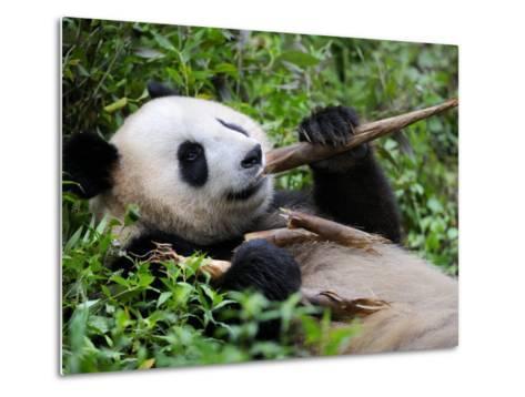 Giant Panda Feeding on Bamboo at Bifengxia Giant Panda Breeding and Conservation Center, China-Eric Baccega-Metal Print