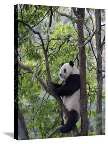 Giant Panda Climbing in a Tree Bifengxia Giant Panda Breeding and Conservation Center, China-Eric Baccega-Stretched Canvas Print