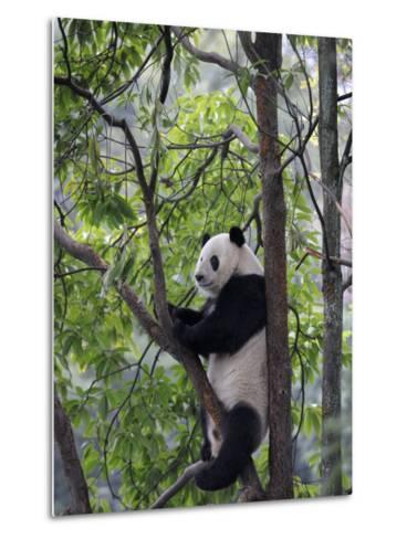 Giant Panda Climbing in a Tree Bifengxia Giant Panda Breeding and Conservation Center, China-Eric Baccega-Metal Print