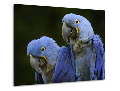 Hyacinth Macaw Pair, from South America, Endangered-Eric Baccega-Metal Print