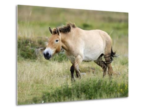 Semi Wild Przewalski Horse Stallion, Parc Du Villaret, Causse Mejean, Lozere, France-Eric Baccega-Metal Print