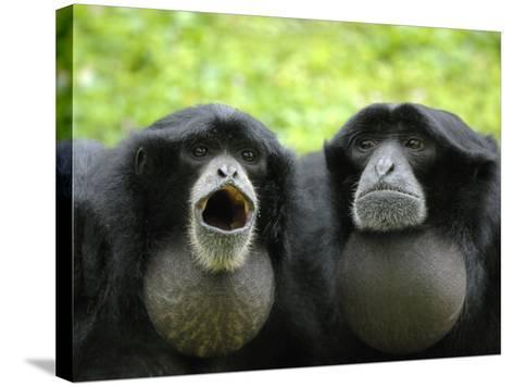 Two Siamang Gibbons Calling, Vocal Pouches Inflated, Endangered, from Se Asia-Eric Baccega-Stretched Canvas Print