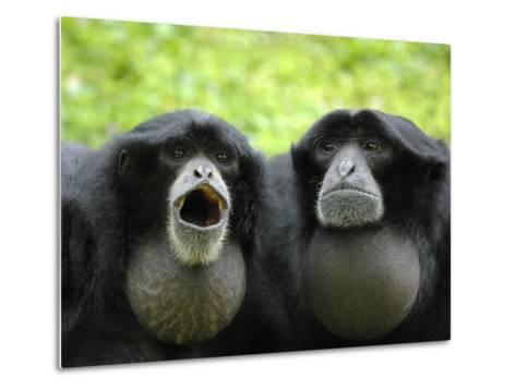 Two Siamang Gibbons Calling, Vocal Pouches Inflated, Endangered, from Se Asia-Eric Baccega-Metal Print