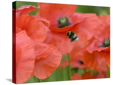 Bumble Bee Flying to Poppy Flower to Gather Pollen, Hertfordshire, England, UK-Andy Sands-Stretched Canvas Print