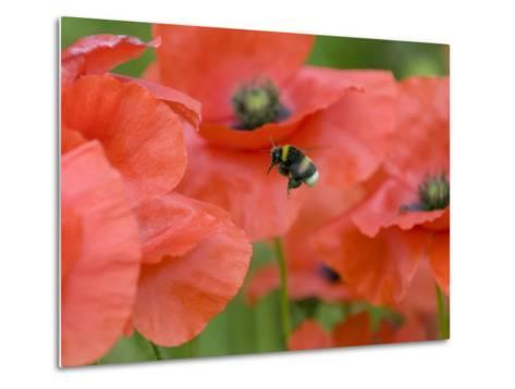 Bumble Bee Flying to Poppy Flower to Gather Pollen, Hertfordshire, England, UK-Andy Sands-Metal Print
