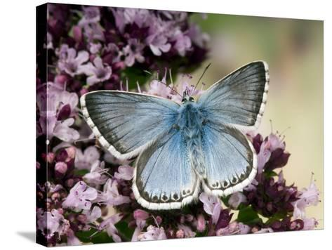 Chalkhill Blue Butterfly Male Feeding on Flowers of Marjoram, UK-Andy Sands-Stretched Canvas Print