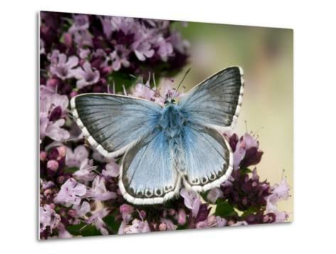 Chalkhill Blue Butterfly Male Feeding on Flowers of Marjoram, UK-Andy Sands-Metal Print