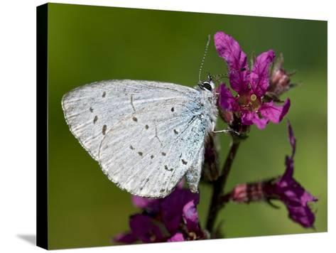 Holly Blue Butterfly Wings Closed, Feeding on Purple Loosestrife, West Sussex, England, UK-Andy Sands-Stretched Canvas Print
